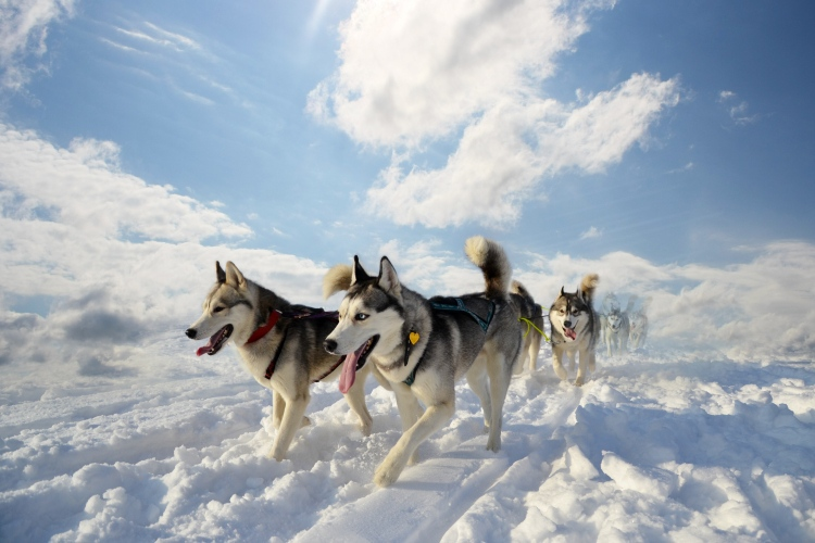 Picture: The Huskies ‒ Lovers & Explorers of Russian North